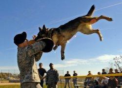 Дрессировка собак в армии