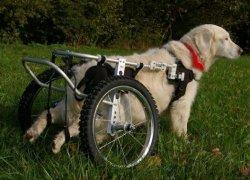 Лабрадор с парализованными задними лапами
