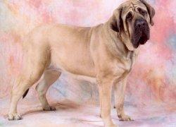 Фото 3. Собака на нежно-розовом фоне.