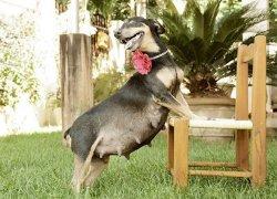 Беременная собака возле стула