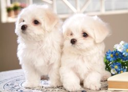 Милые щенки болоньеза