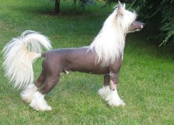 Лысая Китайская Хохлатая собака