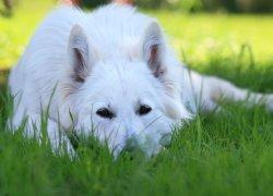 Белая швейцарская овчарка лежит на траве
