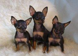Три щенка той-терьера