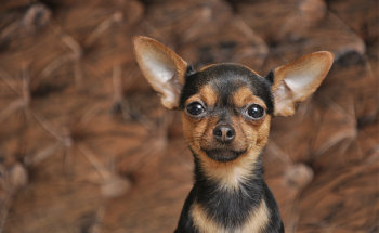 Обзор породы собак Русский той терьер: стандарт, особенности ухода и фото