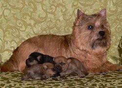 Мама-норвич и щенки