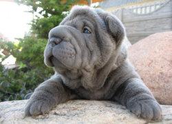 Голубой щенок породы Шарпей