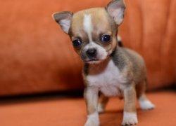 Забавный щенок чихуахуа