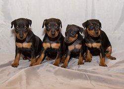 Четыре щенка пинчера