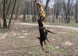 Натаскивание для охоты