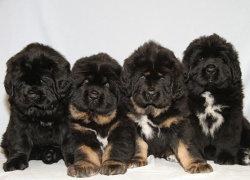 Четыре щенка мастифа