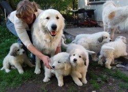 Заводчик со взрослой собакой и щенками