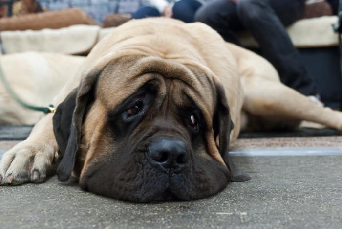 Обзор породы собак Английский мастиф: характеристика, уход, отзывы и фото