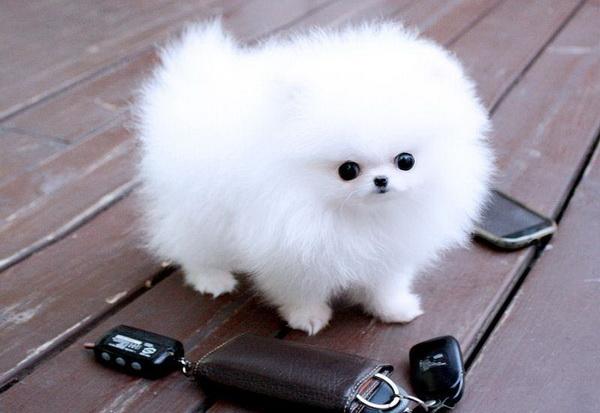 Как назвать шпица: советы по подбору кличек для собак мальчиков и девочек