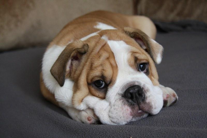 почему у собаки изо рта пахнет ацетоном
