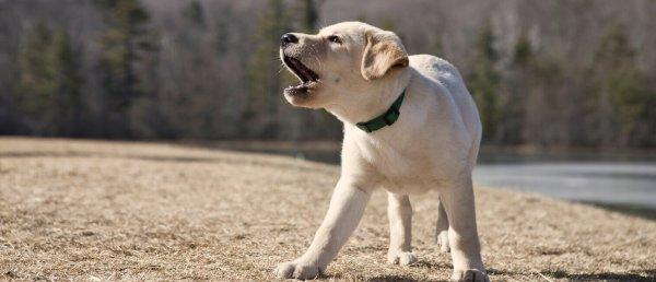Как отучить собаку лаять на всех подряд: причины и способы воспитания питомца