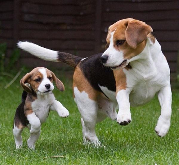 Обзор лучших пород собак для детей, советы ветеринаров и заводчиков по выбору