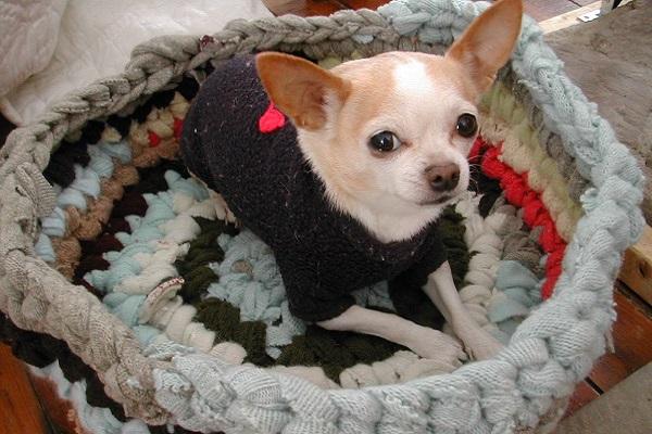 Чихуахуа в черном свитере