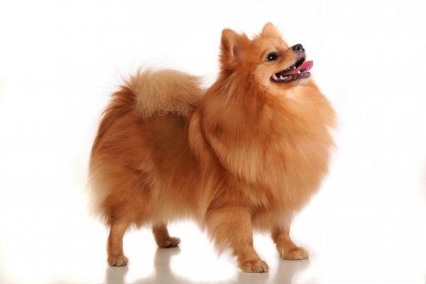 Отличия собак породы Немецкий шпиц и Померанский шпиц, фото представителей