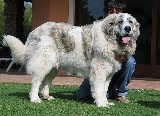 Рейтинг самых больших собак в мире: крупные породы и самые яркие собаки-гиганты