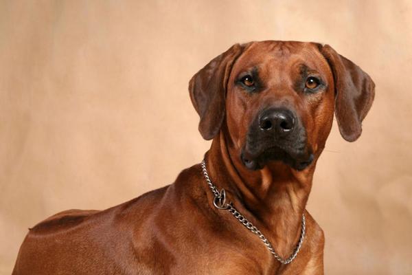 Обзор собак породы Родезийский риджбек: описание стандарта, уход и фото