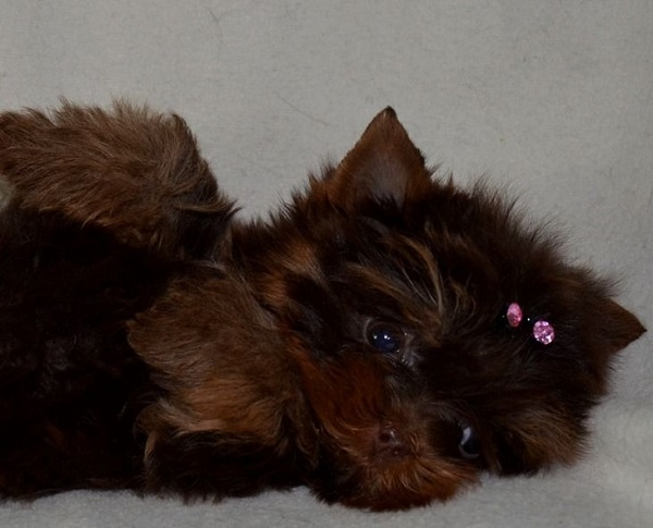 Обзор породы собак Йоркширский терьер: стандарт, особенности содержания и фото