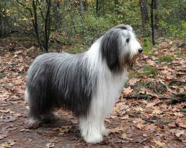 ТОП-10 самых пушистых пород собак в мире: описание и фото представителей