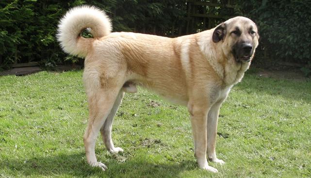 Обзор породы Анатолийская овчарка (кангал): описание, уход и фото