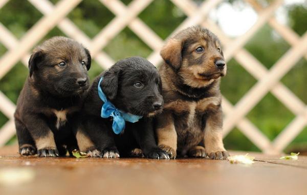 Подбор идеальной клички для собак породы Немецкая овчарка девочек и мальчиков