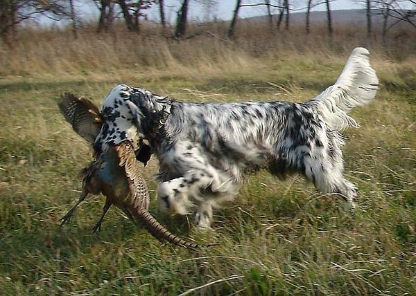 Обзор собак английский сеттер: описание породы, охота, фото и отзывы