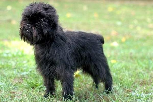 10 представителей собак-компаньонов (Староанглийский бульдог Левитта и пр)