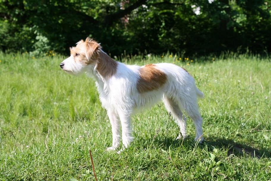 Обзор самых распространенных охотничьих пород собак (Лайки, Фокстерьеры и др)