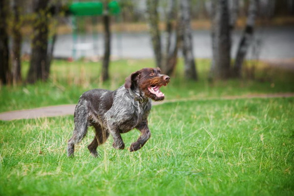 Обзор породы собак Немецкий дратхаар: стандарт, уход, фото, отзывы владельцев